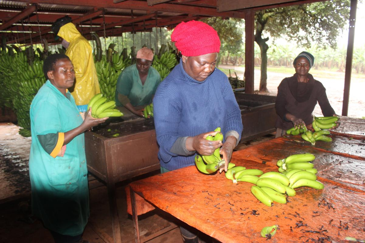 Employees at Ravele CPA wash freshly picked bananas at the CPA's pack house. The bananas will be sold at local markets across Limpopo Province