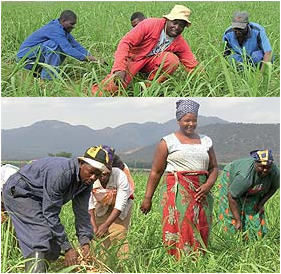 Members of the Ngomane family working in a sugar cane field on their farmdreams