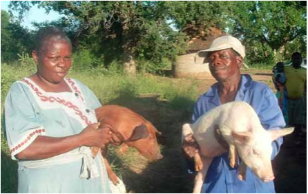 Photo caption: Agnes Tivani and Samuel Hlatshwayo, proud members of the Hluvukani Khubu Piggery Cooperative in Limpopo, earn a living thanks to the pigs they farm.