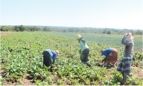 Photo caption: Black commercial farmers will benefit from the R80.5 million the Northern Cape government has set aside for agriculture and rural development.