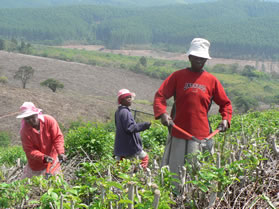 The revival of the Sapekoe Tea Estate near Tzaneen will create about 2 000 jobs for local communities.