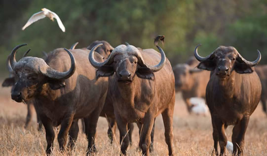 An African buffalo takes refuge from the hot sun at one of the farms owned by the Mulambwane CPA.
