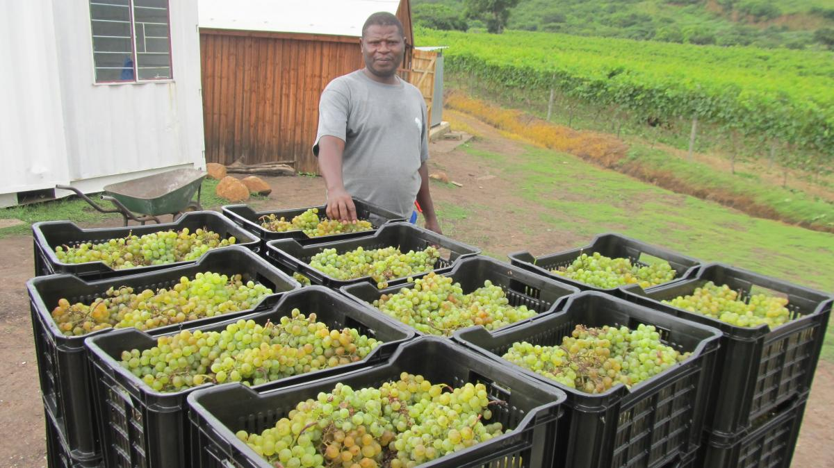 Induna Sipho Gumede with the first harvest of grapes in Mandeni.
