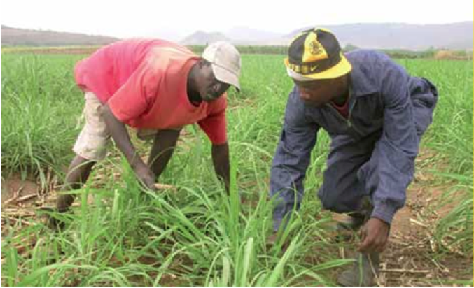 Photo caption: Farmworkers will benefit from a new minimum wage of R105 per day. Labour Minister Mildred Oliphant recently announced the increase in farmworkers' wages, which is effective from 1 March 2013.