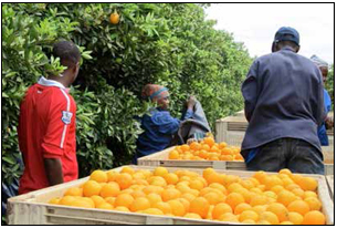 A citrus farm started by the Mabunda Cooperative is helping Limpopo residents put food on the table. (Picture: Orlando Chauke/AENS)
