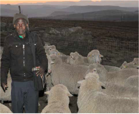 Chairperson of the Masimenyana Wool Project Mbijana Koyti with some of the cooperative's sheep.