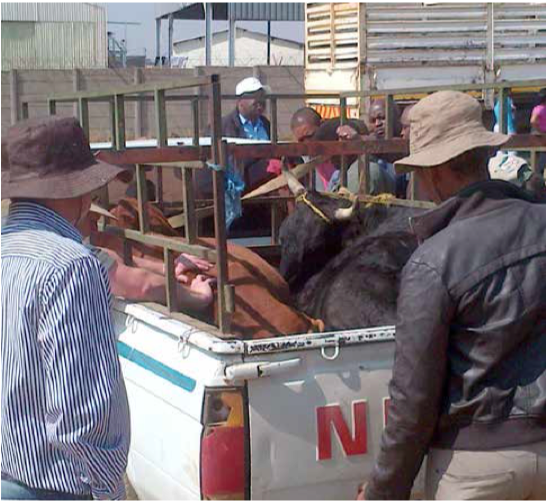 Photo caption: Police and farmers with cattle that were stolen and recovered from a farm in KwaGuqa.